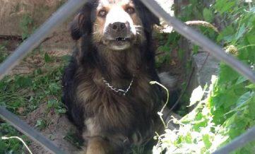 pies, znaleziony, szukanie właściciela