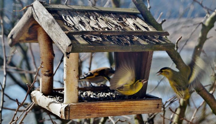 Drewniany karmnik dla ptaków. W nim trzy ptaki jedzące ziarno