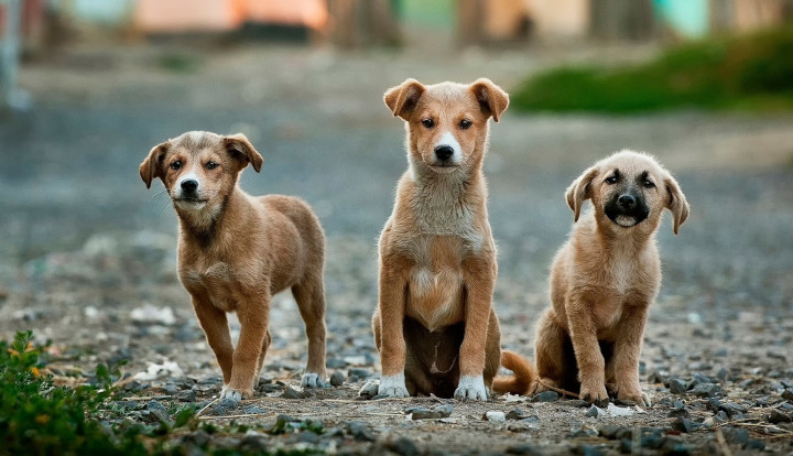 Trzy młode psy o rudawej sierści