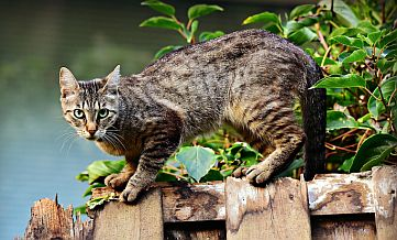Szary, pręgowany kot na płocie