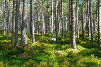 Las sosnowy. Pnie drzew oraz zielone poszycie leśne