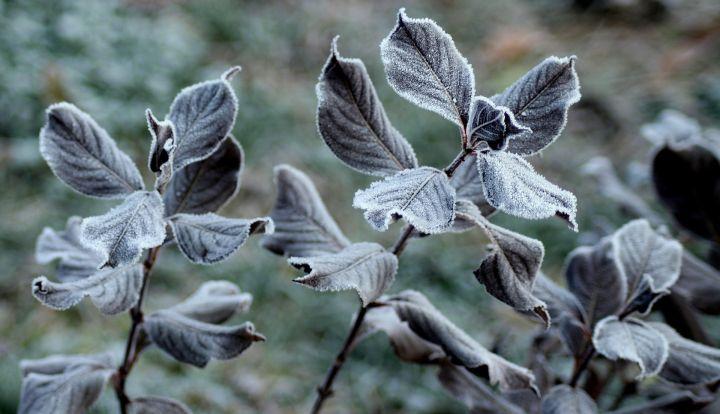 Liście pokryte wiosennym szronem