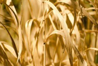 Wysuszone trawy o barwie żółtej