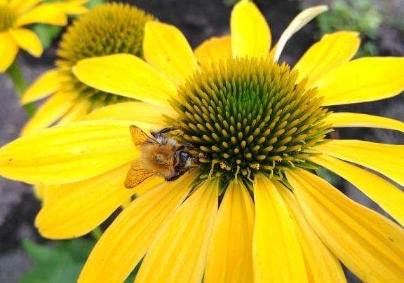 Żółty kwiat na którym pszczoła zbiera pyłek