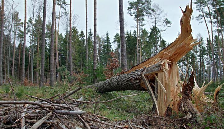 Złamane drzewo w tle las sosnowy