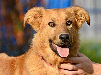 Pies ze Schroniska w Celestynowie o rudawej sierści