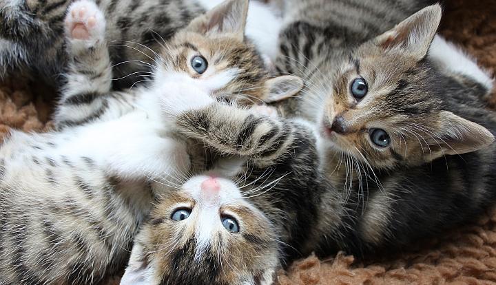 Trzy małe szaro-białe kotki leżące na plecach