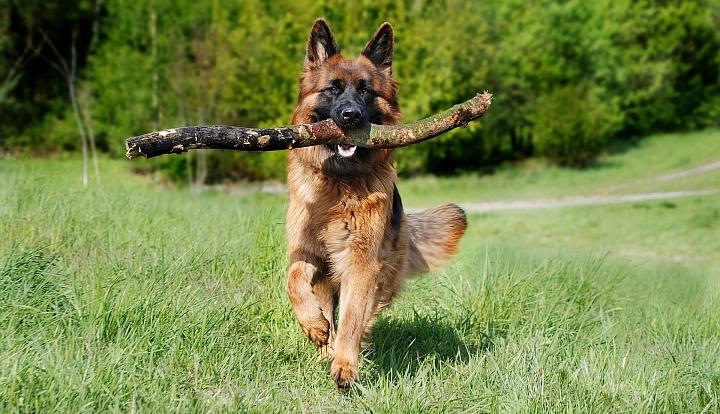 Pies rasy wilczur biegnący przez zieloną łąkę z patykiem w pysku