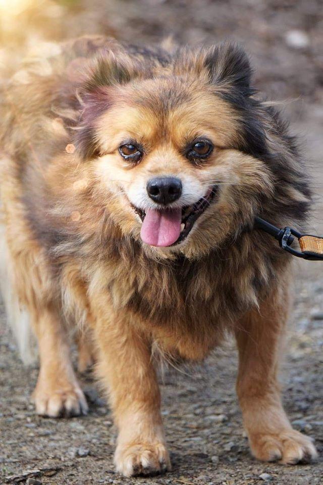 Hilda - pies w typie pekińczyka ze Schroniska dla Zwierząt w Celestynowie do adopcji