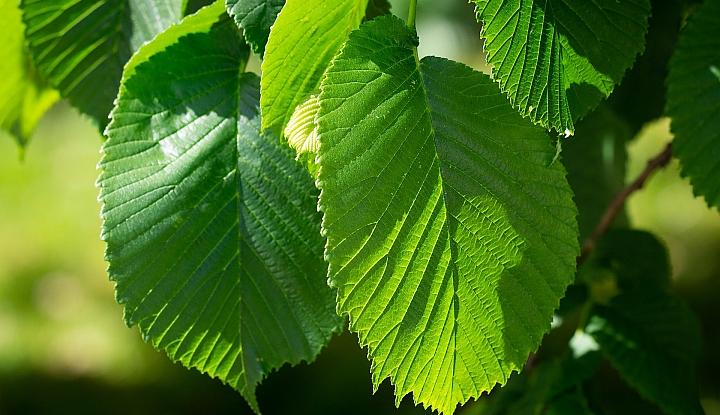 Dwa zielone liscie wiązu