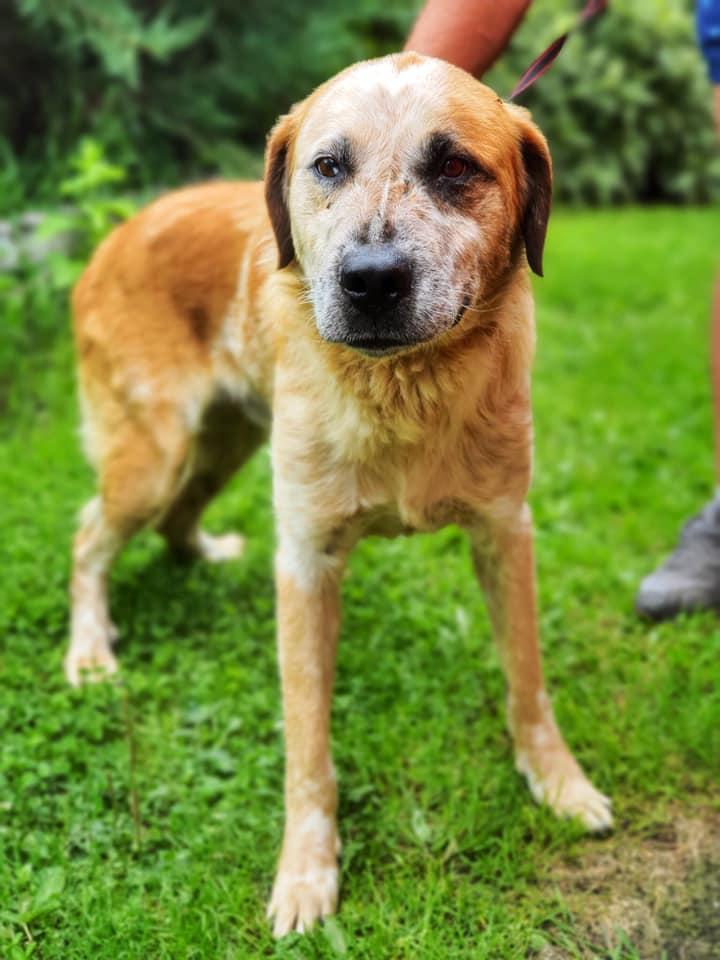 Pies ze schroniska w Celetynowie. Bób o rudawej sierści