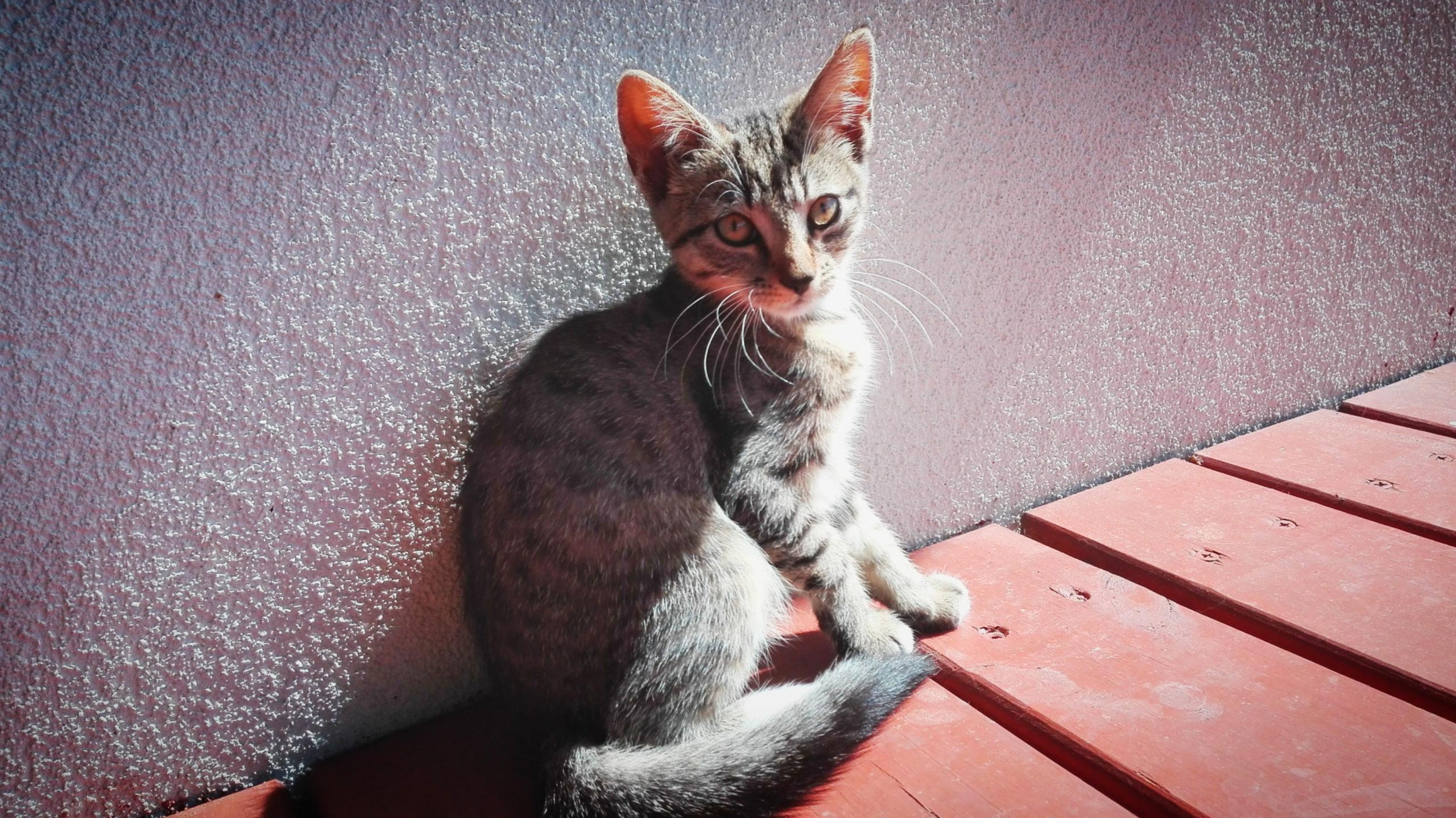 Szaro-bura pręgowana, maął kotka na tele szarawej ściany