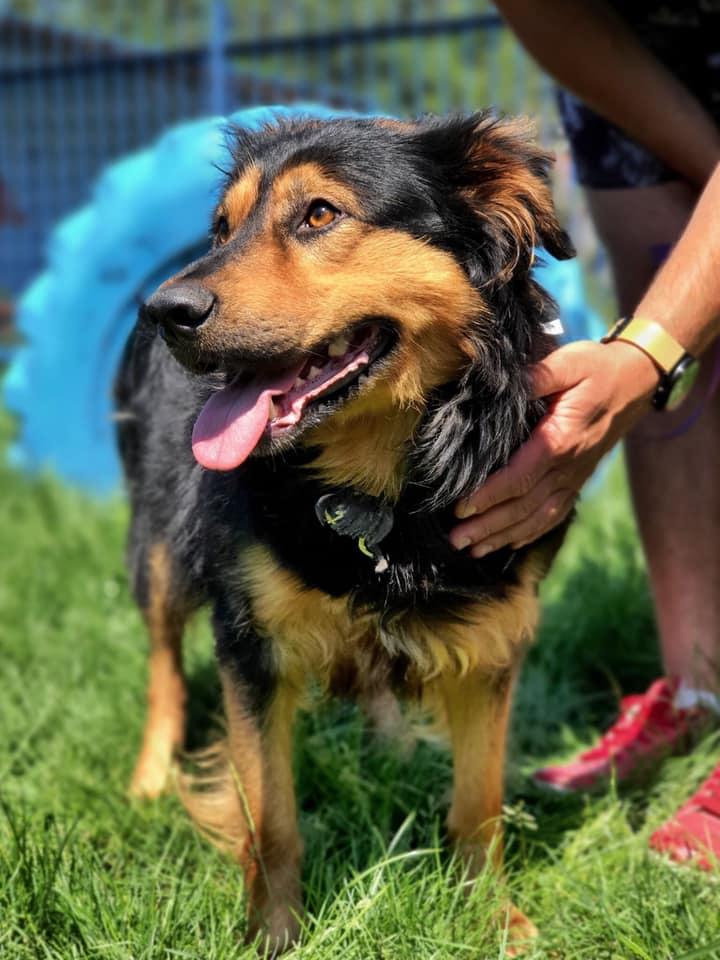 Pies ze schroniska w Celestynowie. Niewysoki kundelek o czarno-rudawej długiej sierści