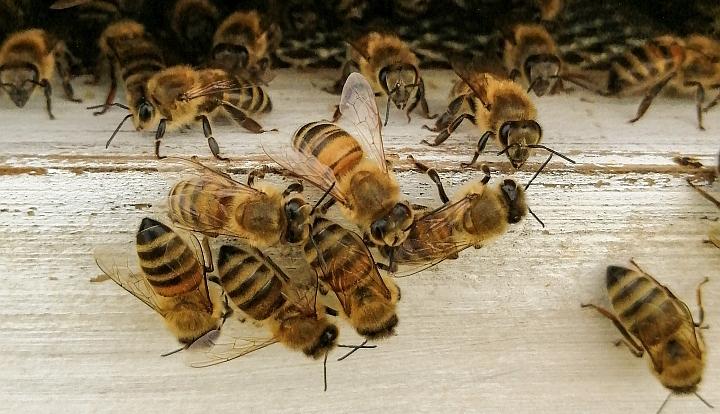 Dużo pszczół przy wlocie do białego ula