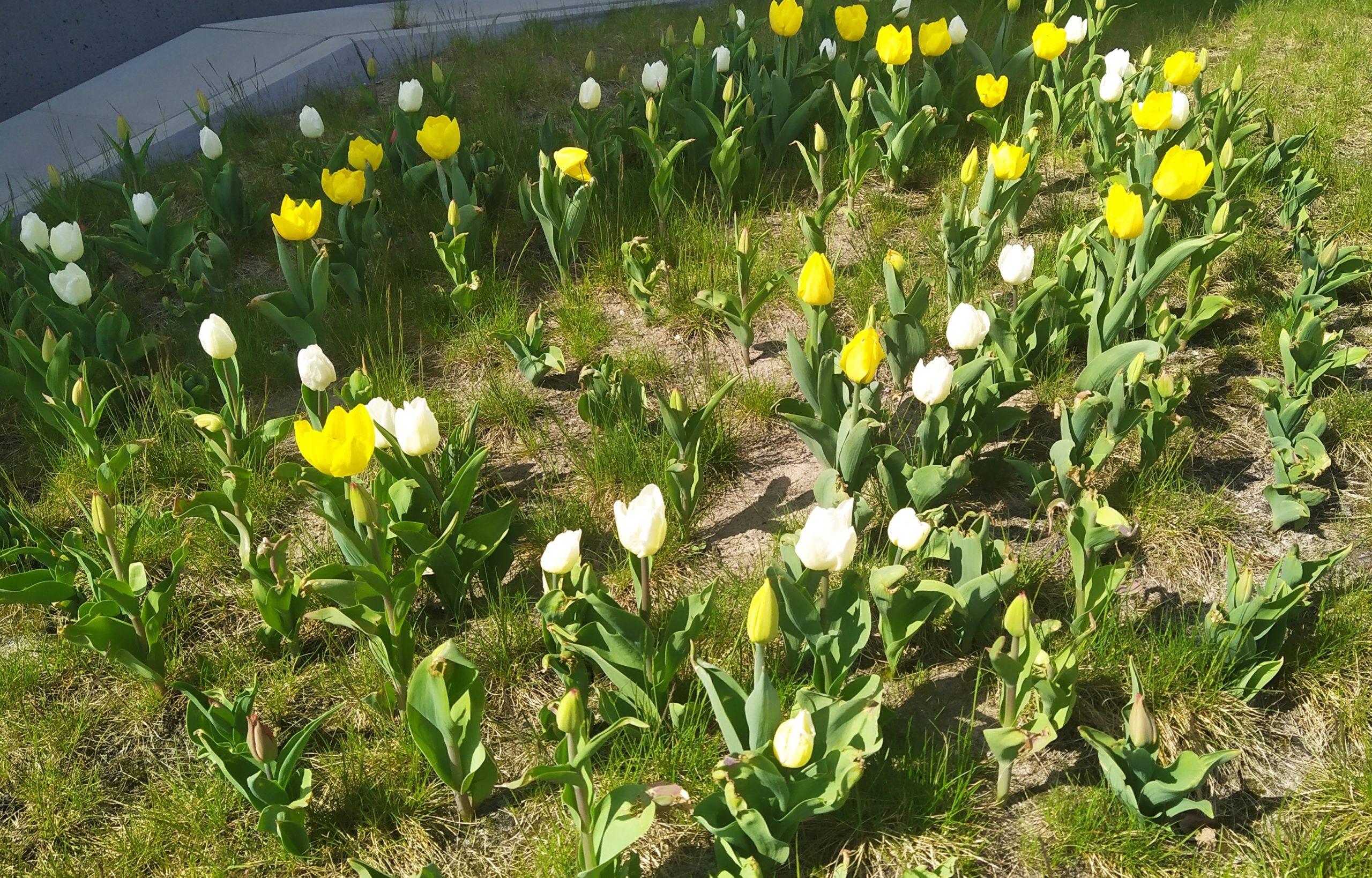 Posadzone jesienią tulipany właśnie zakwitły