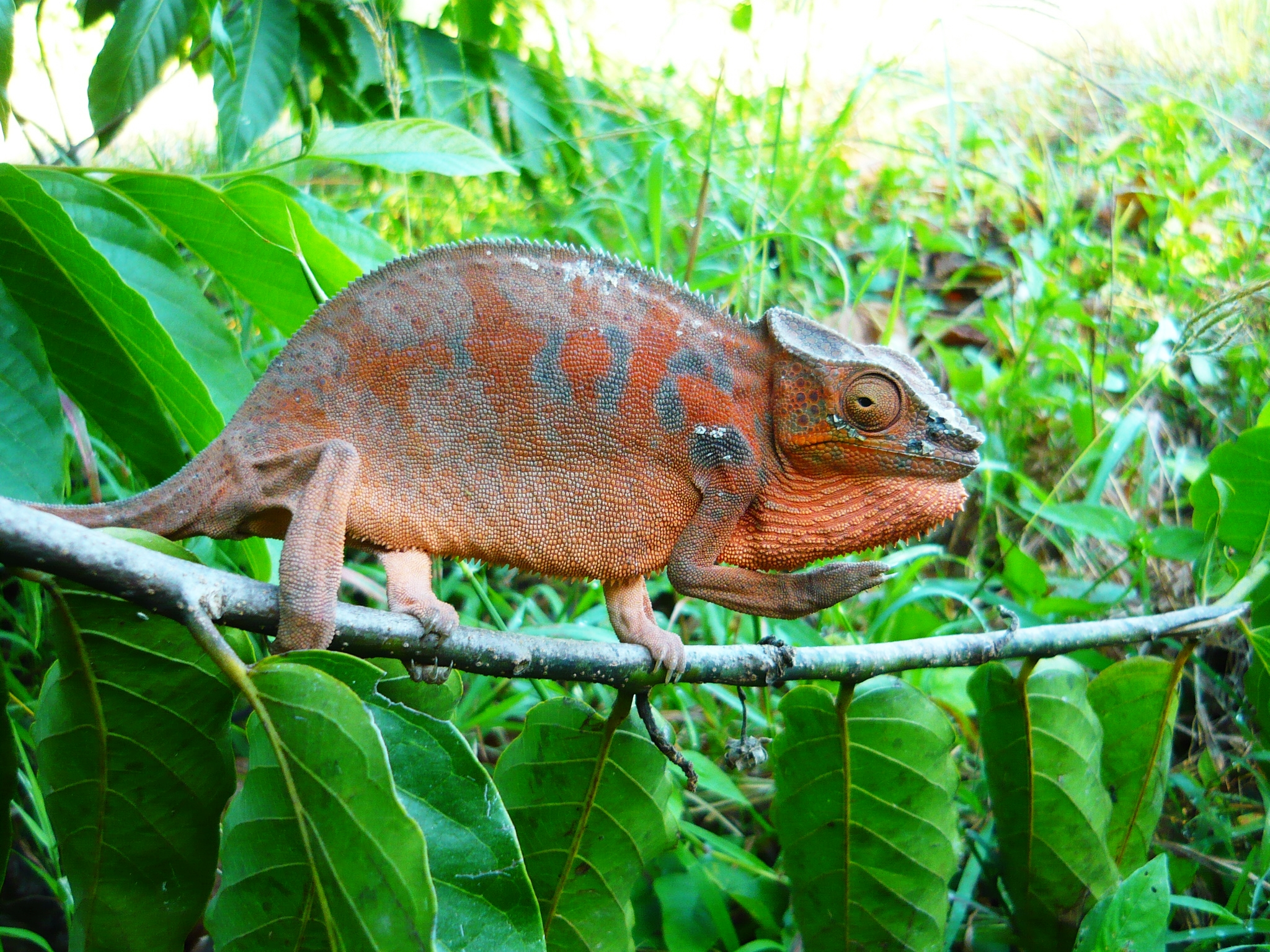Kameleon na gałęzi. W tle zielone liście